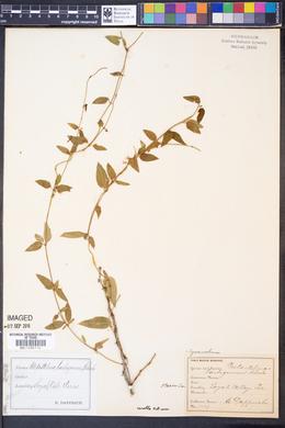 Cynanchum barbigerum image