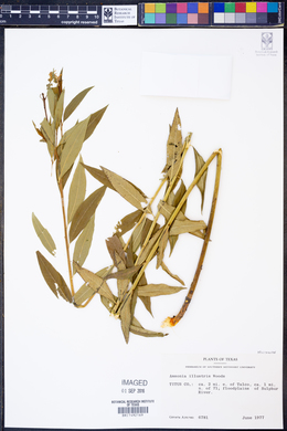 Amsonia illustris image