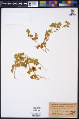 Aristolochia brevipes image