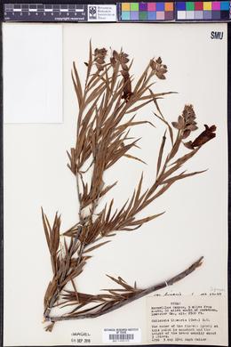 Chilopsis linearis image