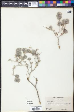 Tiquilia greggii image