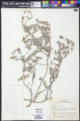 Tiquilia canescens var. canescens image