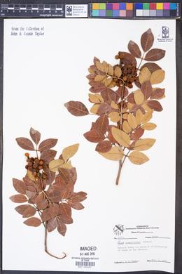 Image of Rhus sempervirens