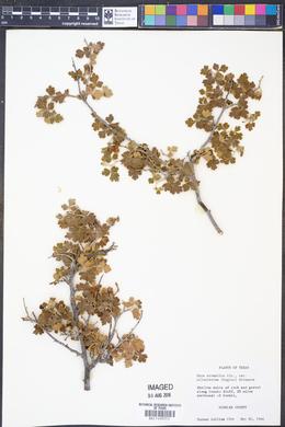 Rhus aromatica var. pilosissima image
