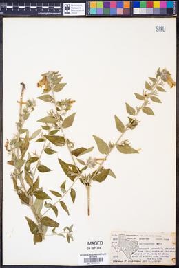 Lithospermum viride image