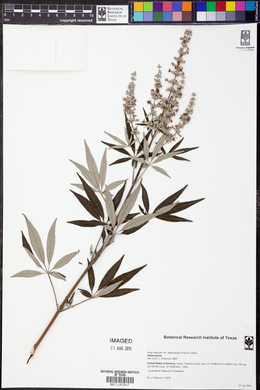 Vitex negundo var. heterophylla image