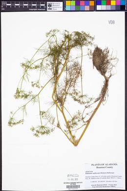 Ptilimnium capillaceum image