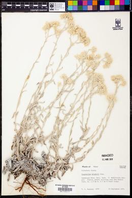 Pseudognaphalium canescens image