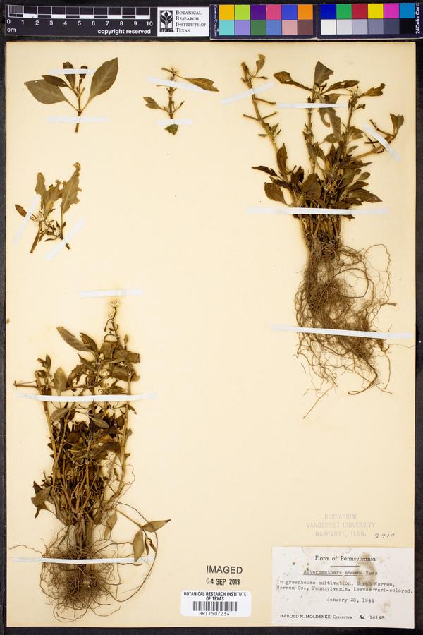 Alternanthera amoena image