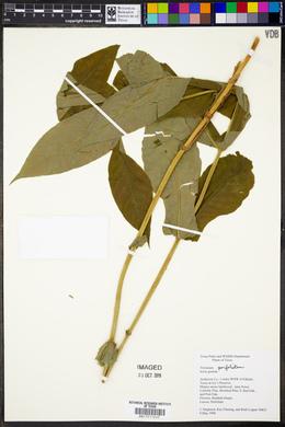 Triosteum perfoliatum image