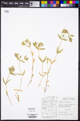 Image of Cerastium siculum