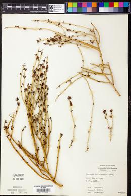 Canotia holacantha image