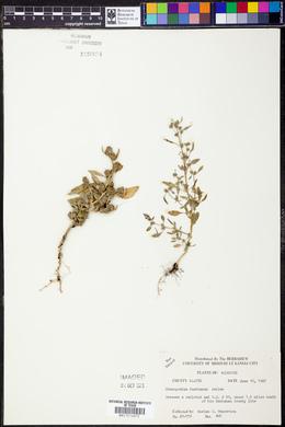 Chenopodium bushianum image