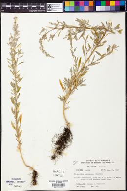 Chenopodium pallescens image