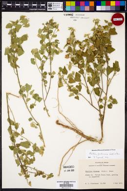 Abutilon fruticosum image