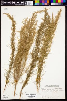 Artemisia filifolia image