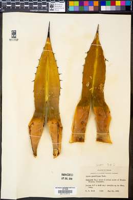 Agave gracilipes image