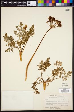 Cogswellia daucifolia image