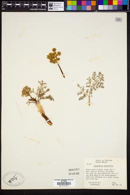 Image of Cogswellia daucifolia