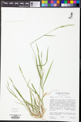 Eriochloa contracta image