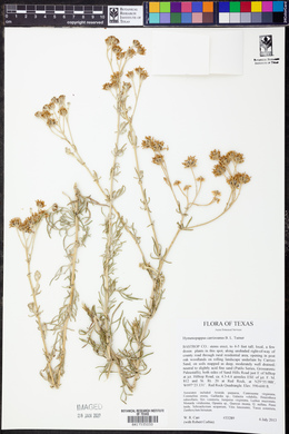 Hymenopappus carrizoanus image