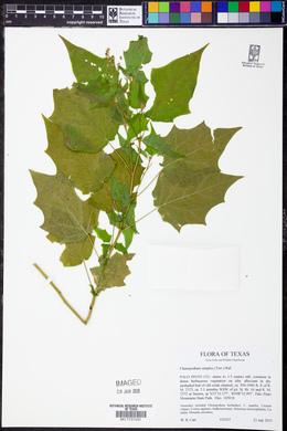 Chenopodiastrum simplex image