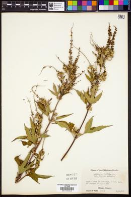 Ambrosia trifida var. texana image