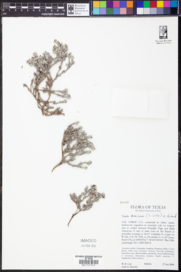Tiquilia mexicana image