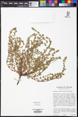 Chamaesyce velleriflora image