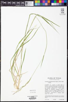Eriochloa pseudoacrotricha image