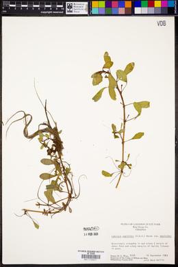 Ludwigia peploides subsp. peploides image
