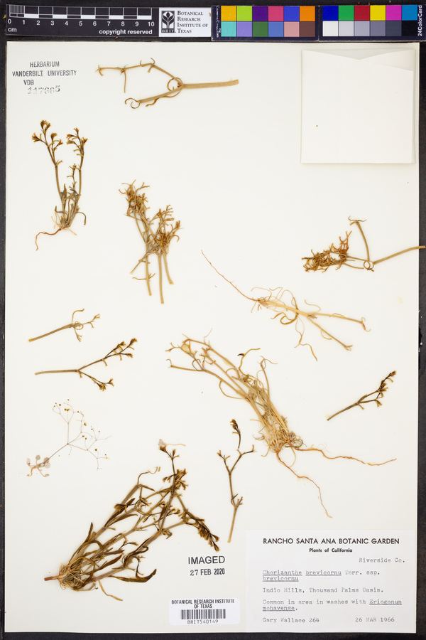 Chorizanthe brevicornu subsp. brevicornu image