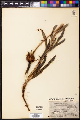 Image of Brauneria angustifolia