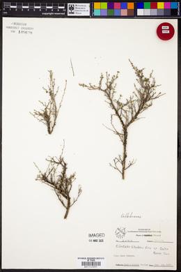 Pilostyles thurberi image