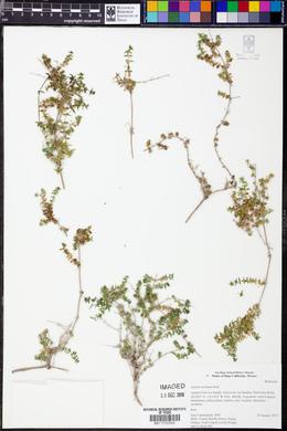 Galium stellatum image