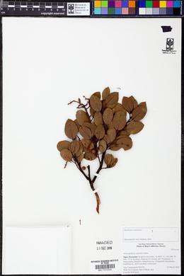 Image of Arctostaphylos australis