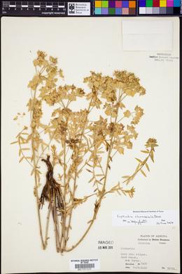 Euphorbia chamaesula image