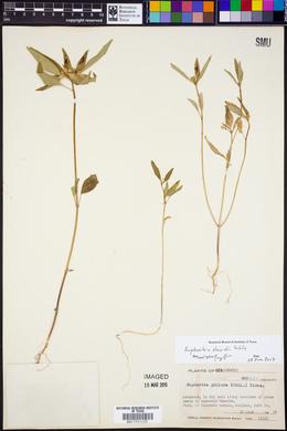 Euphorbia davidii image