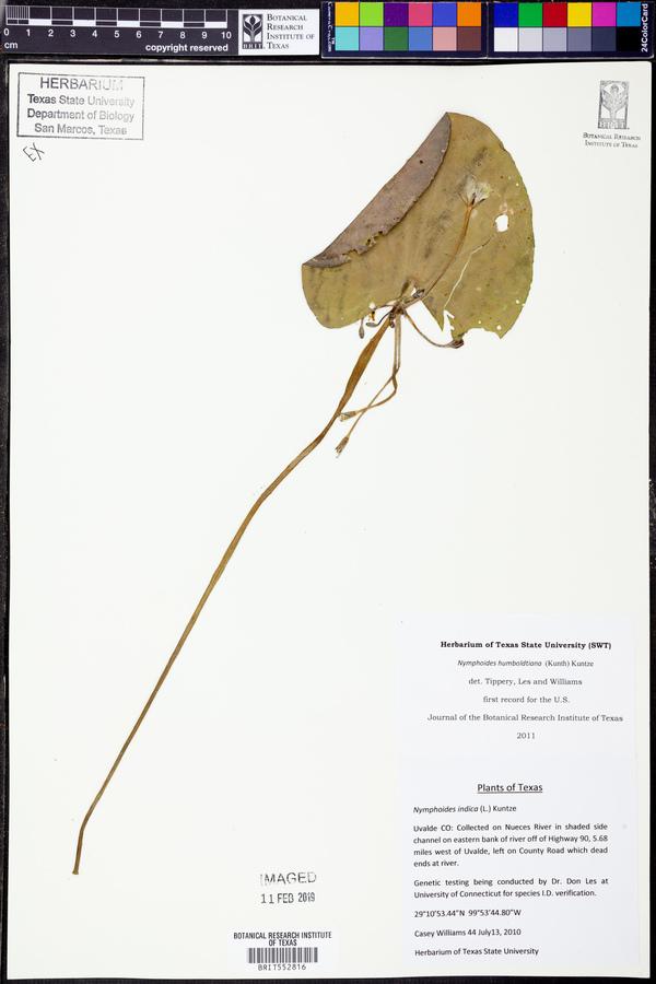 Nymphoides humboldtiana image