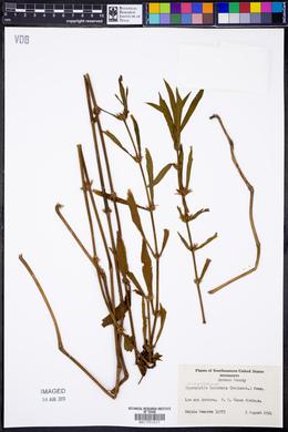 Hygrophila lacustris image