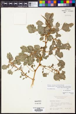 Amaranthus blitum subsp. emarginatus image