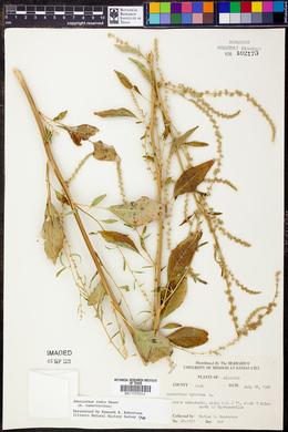Amaranthus tuberculatus image