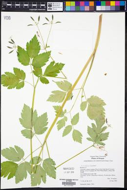 Osmorhiza occidentalis image