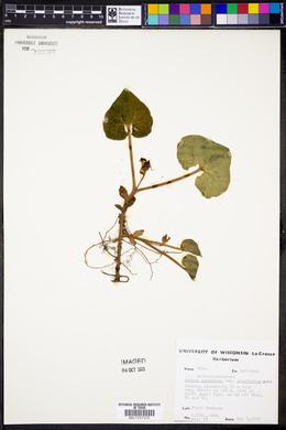 Asarum canadense var. acuminatum image