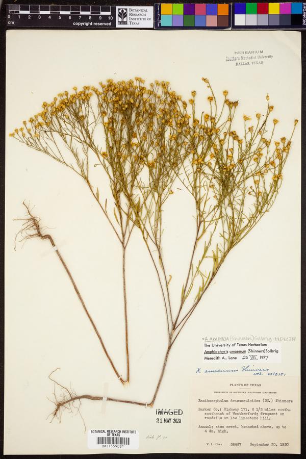 Amphiachyris amoenum image
