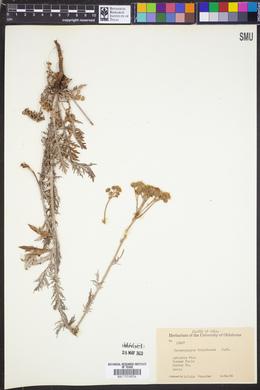 Hymenopappus corymbosus image