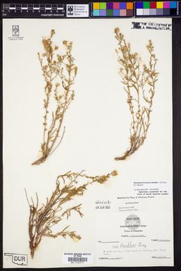 Symphyotrichum fendleri image