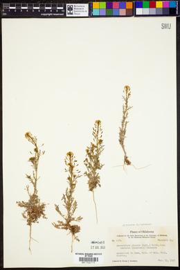 Descurainia pinnata subsp. halictorum image