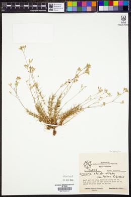 Sabulina texana image