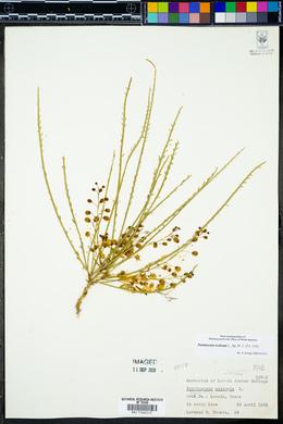 Parkinsonia aculeata image